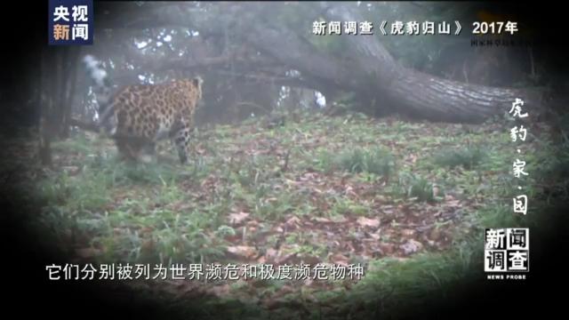 国家公园照亮虎豹回乡路 野生东北虎和东北豹现状调查